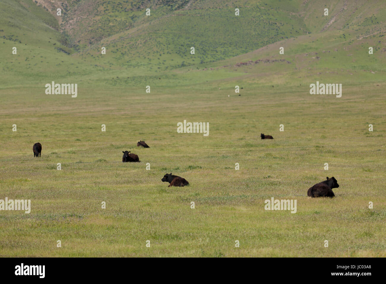 Free range cattle on Central California grass meadows - California USA - Stock Image