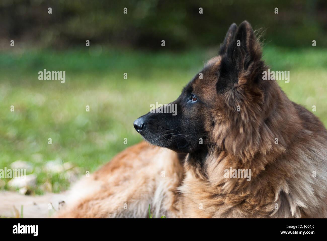 German shepherd dog, Alsatian - Stock Image