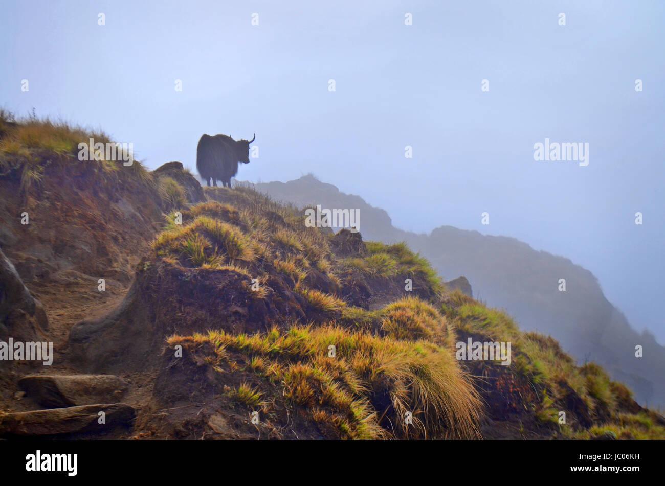 Alone Yak on foggy hill. Himalayan mountains. Nepal, Annapurna - Stock Image