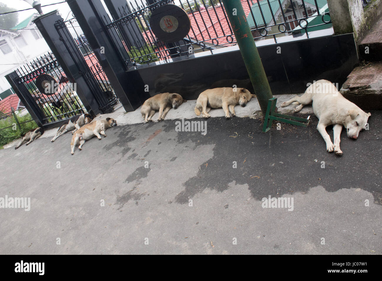 Row of dogs sleeping in the road on Mall Road Darjeeling West Bengal India - Stock Image