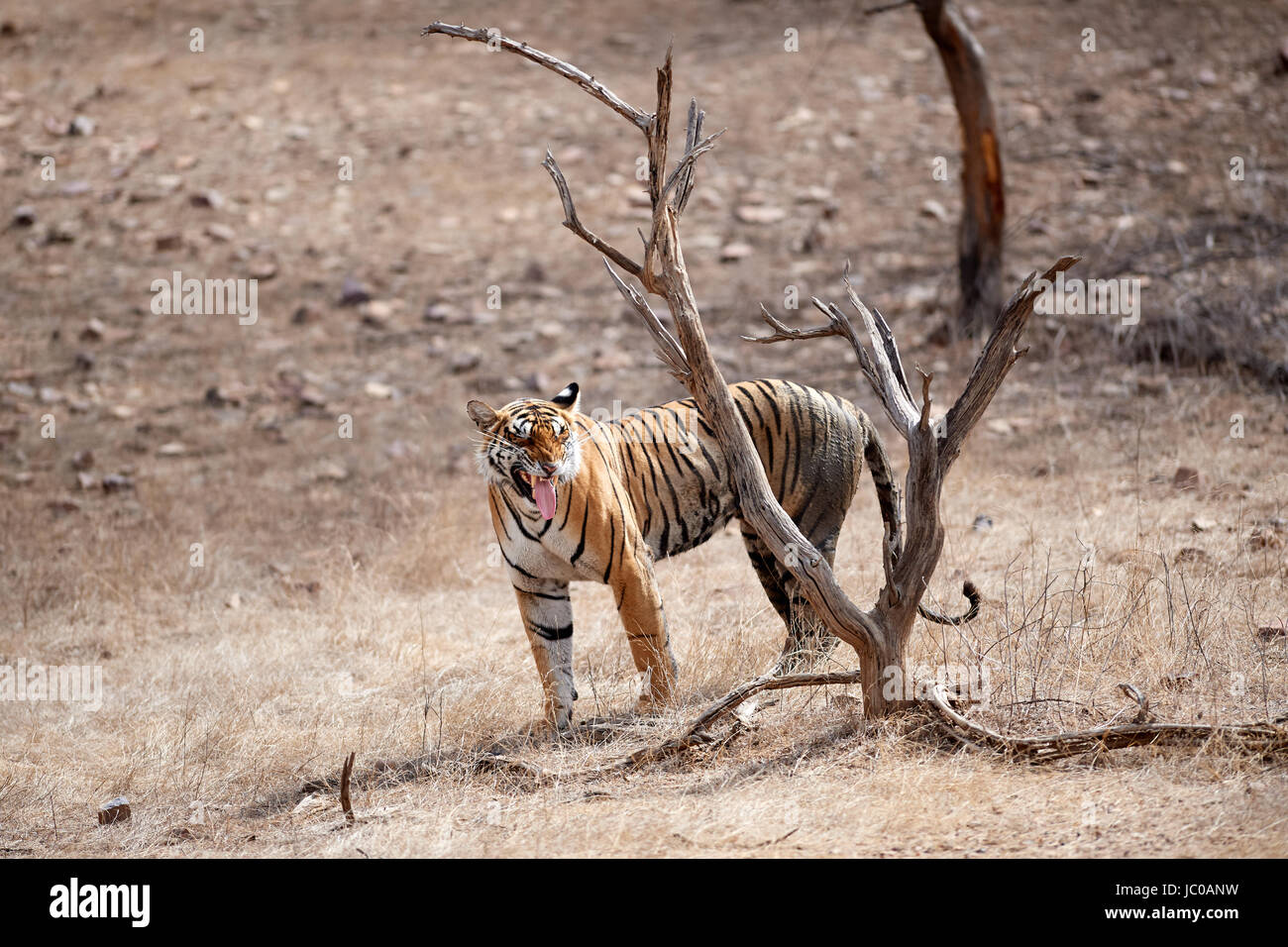A female Bengal Tiger doing the Flehmen response after sniffing a tree. - Stock Image