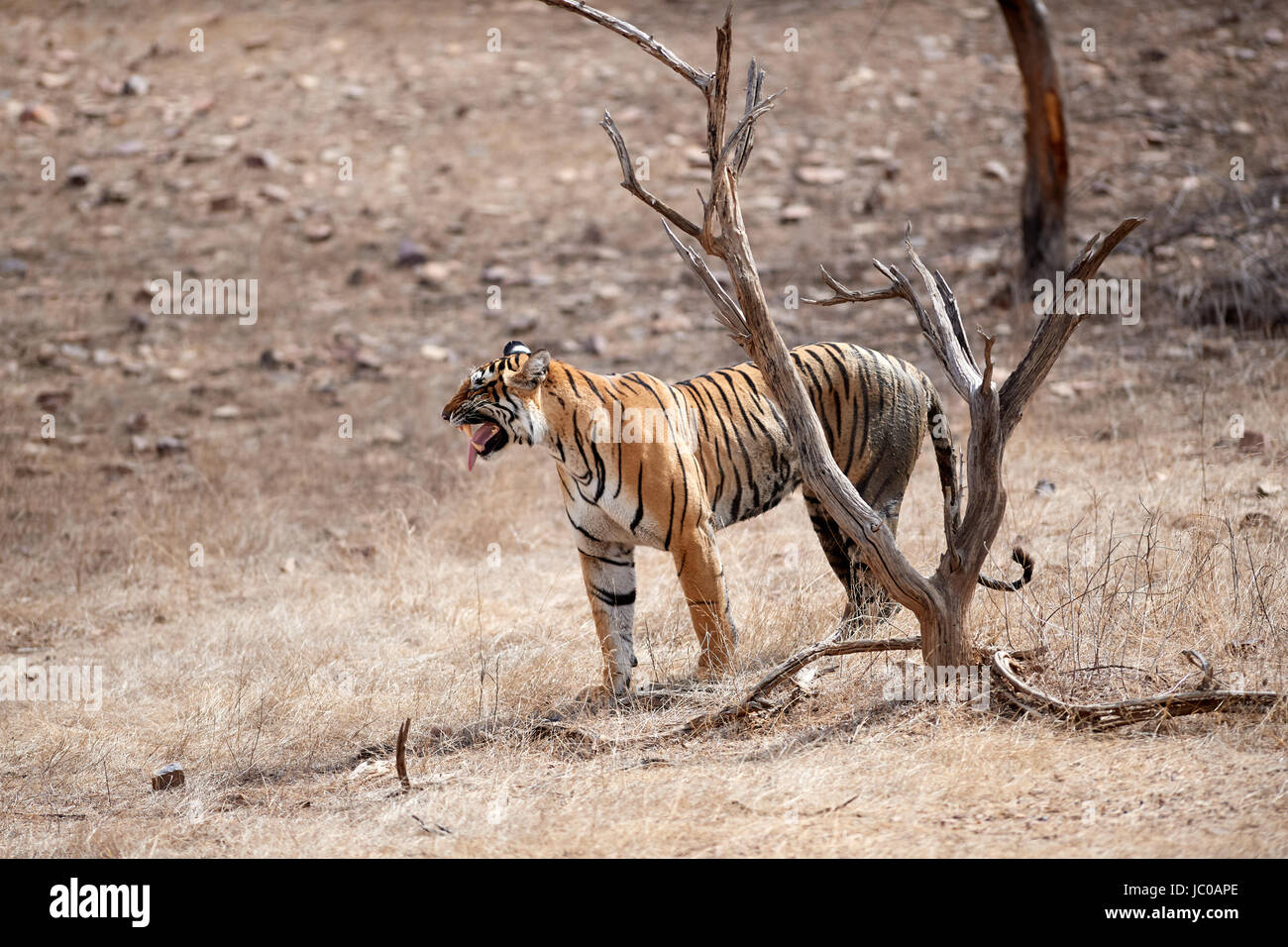 A female Bengal Tiger doing the Flehmen response after sniffing a tree. Stock Photo