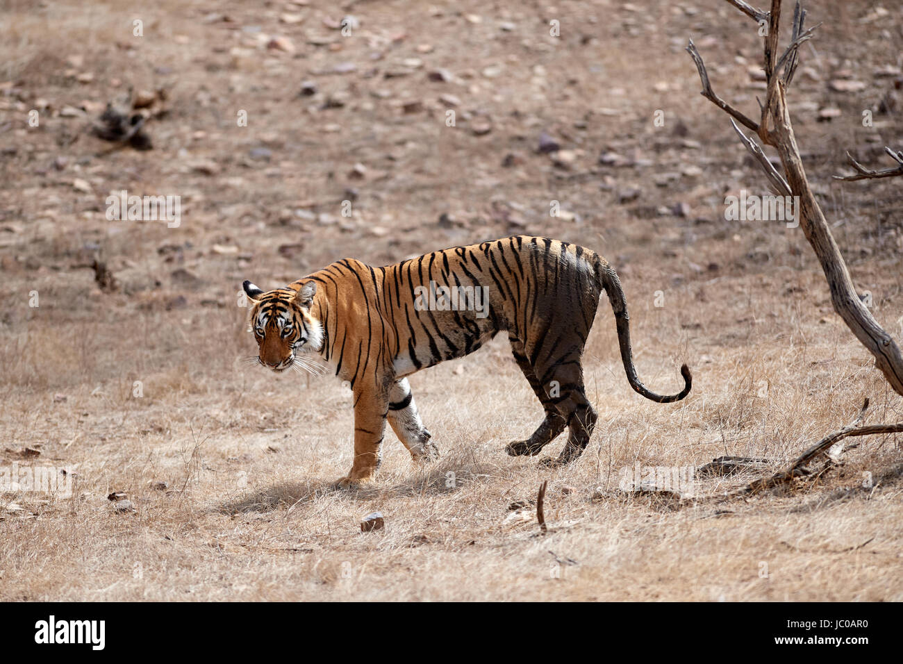 A Female Bengal Tiger walking across a dry piece of land then onto a road with a lake in the back ground - Stock Image