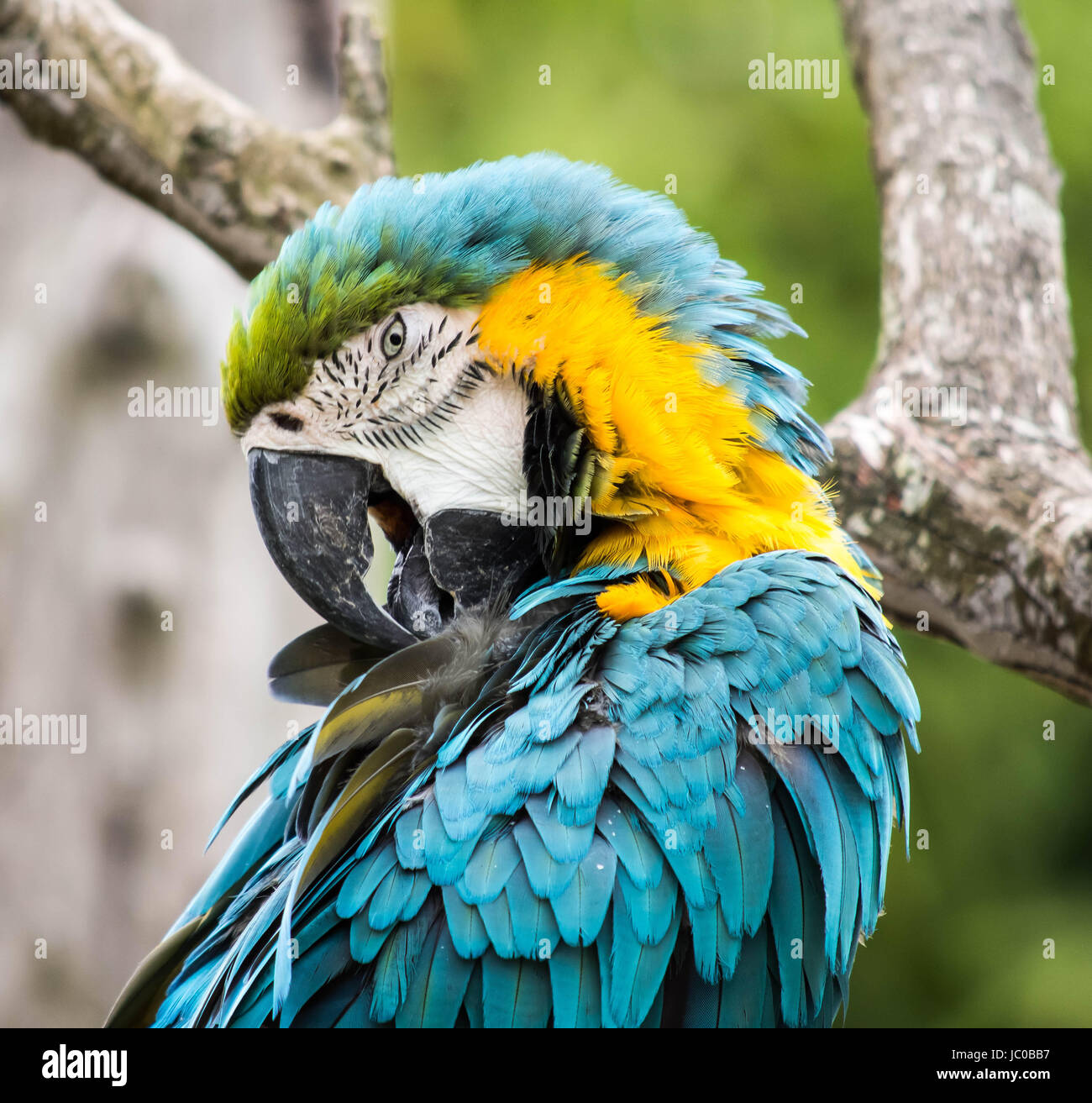 Blue and Yellow Macaw at Cotswold Wildlife Park in Burford, Oxfordshire, UK - Stock Image