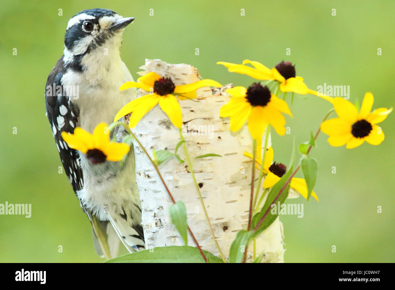 A Downy Woodpecker musing among Black-eyed Susan flowers during summer in the north woods. - Stock Image