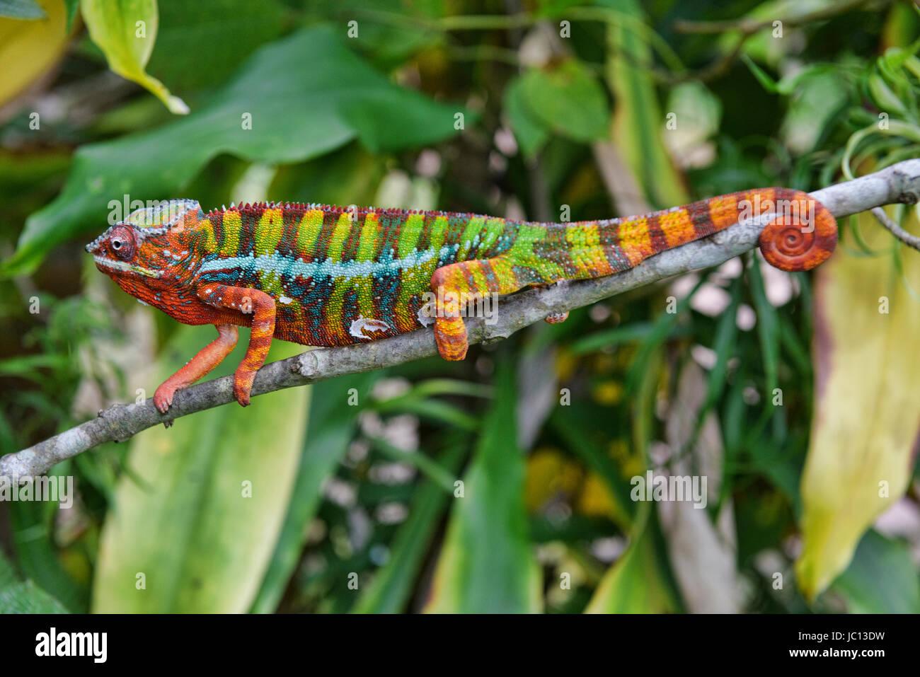 Colourful Panther chameleon (Furcifer pardalis), Andasibe-Mantadia National Park, Madagascar - Stock Image
