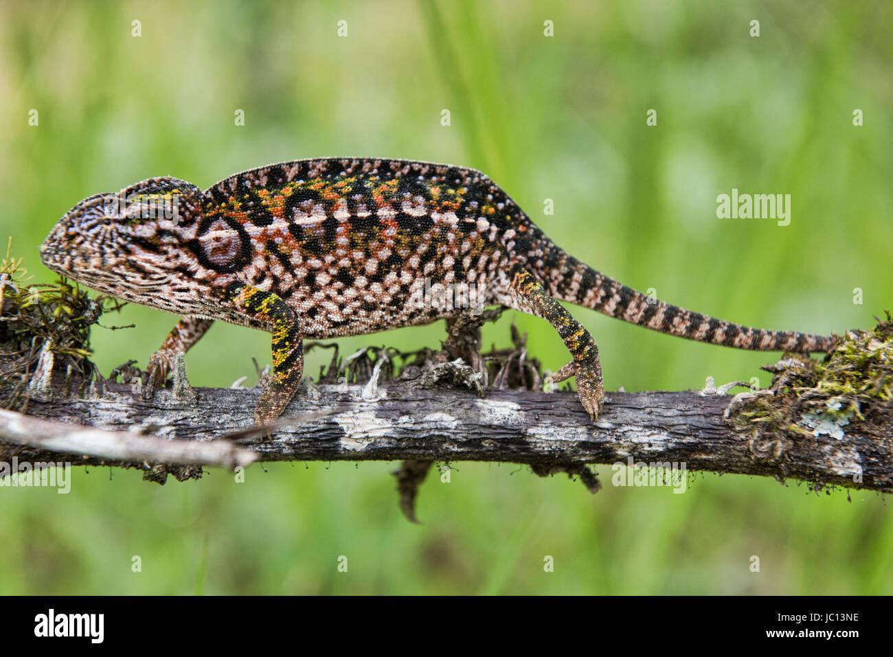 White-lined or carpet chameleon (Furcifer lateralis), Andasibe-Mantadia National Park, Madagascar - Stock Image