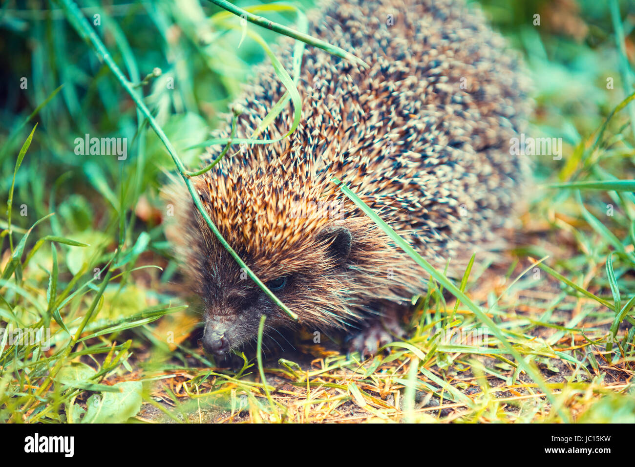 Hedgehog walking in the grass Stock Photo