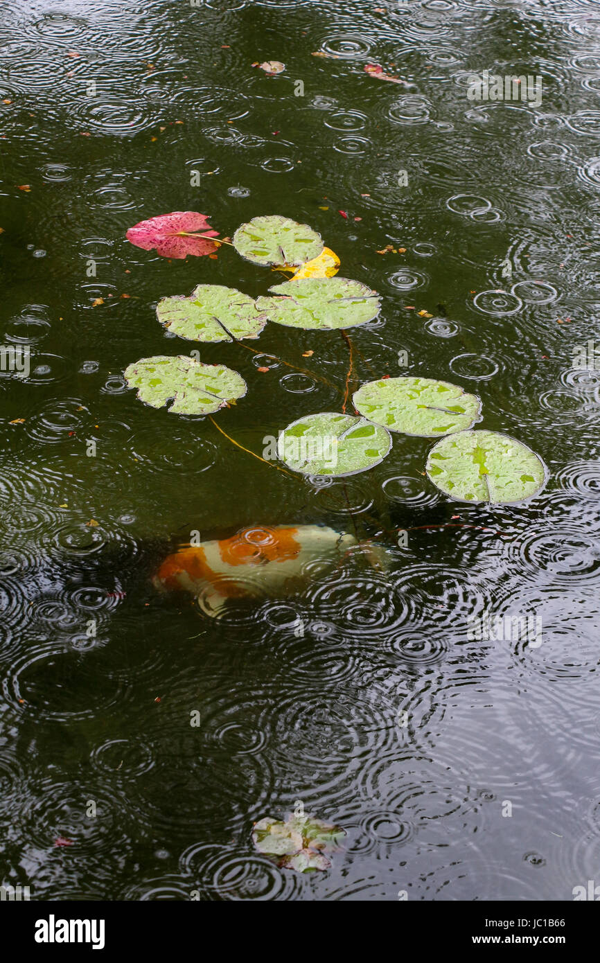 One orange and white koi fish swims in a pond with light green lily pads, rain drops creating circular ripples on Stock Photo