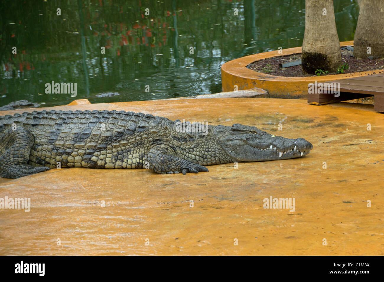 animal crocodile - Stock Image