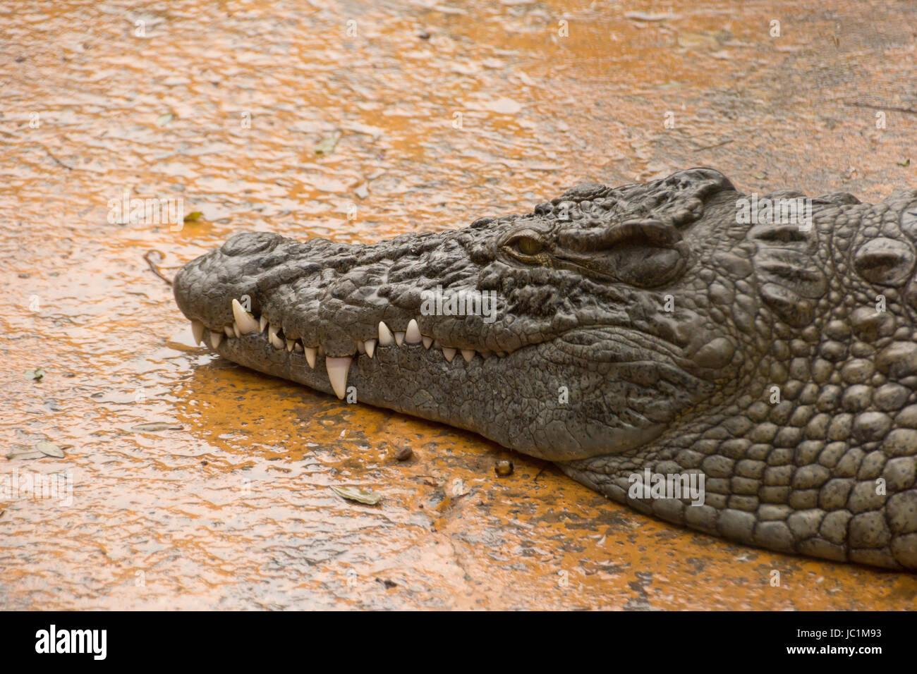 crocodile - Stock Image