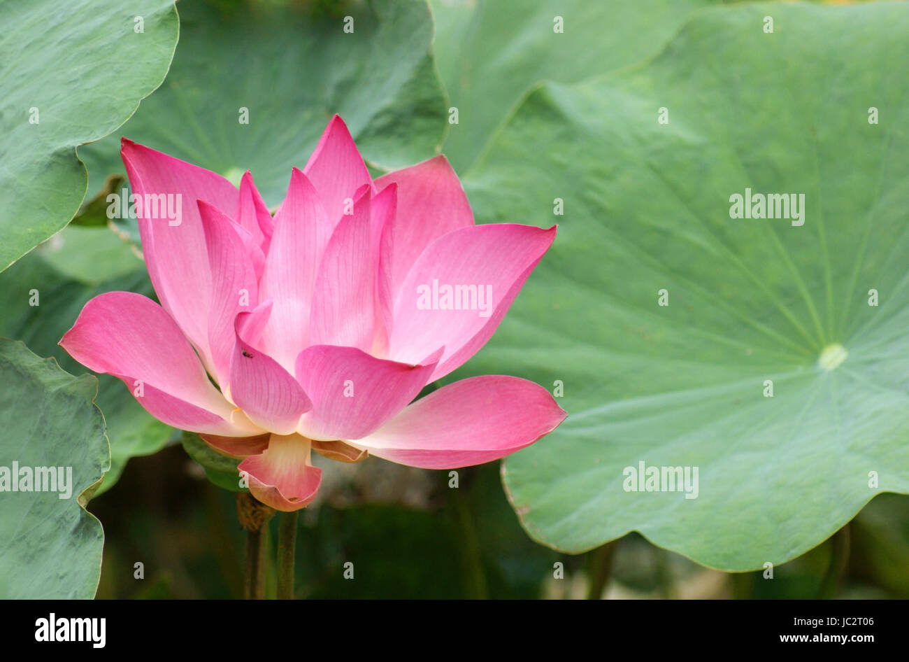 Pink lotus flower head and leaves seen in thailand stock photo pink lotus flower head and leaves seen in thailand mightylinksfo