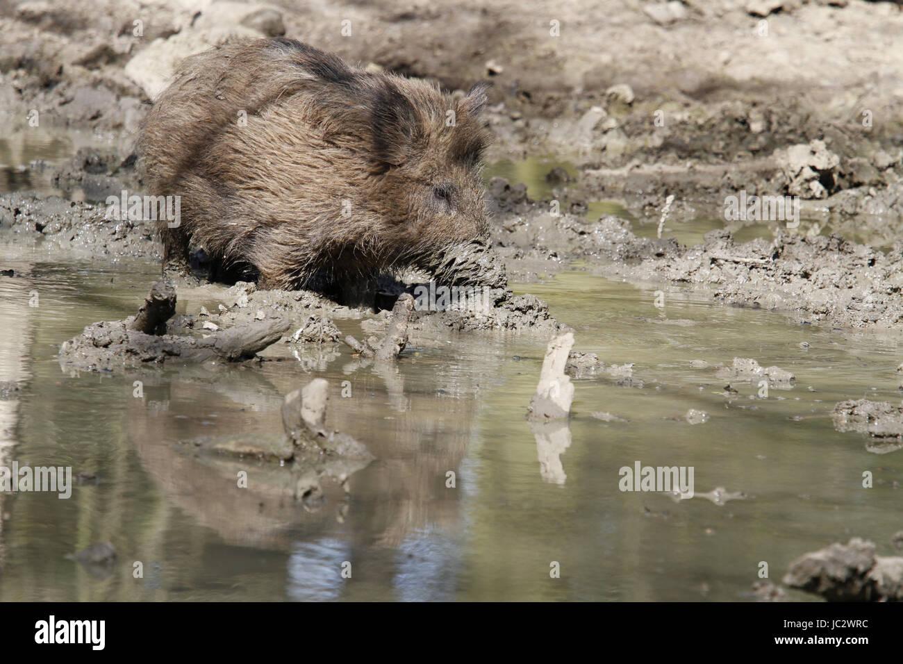 Wildschwein in der Suhle - Stock Image
