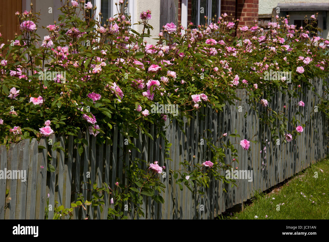 climbing pink roses over a cottage picket fence, England - Stock Image