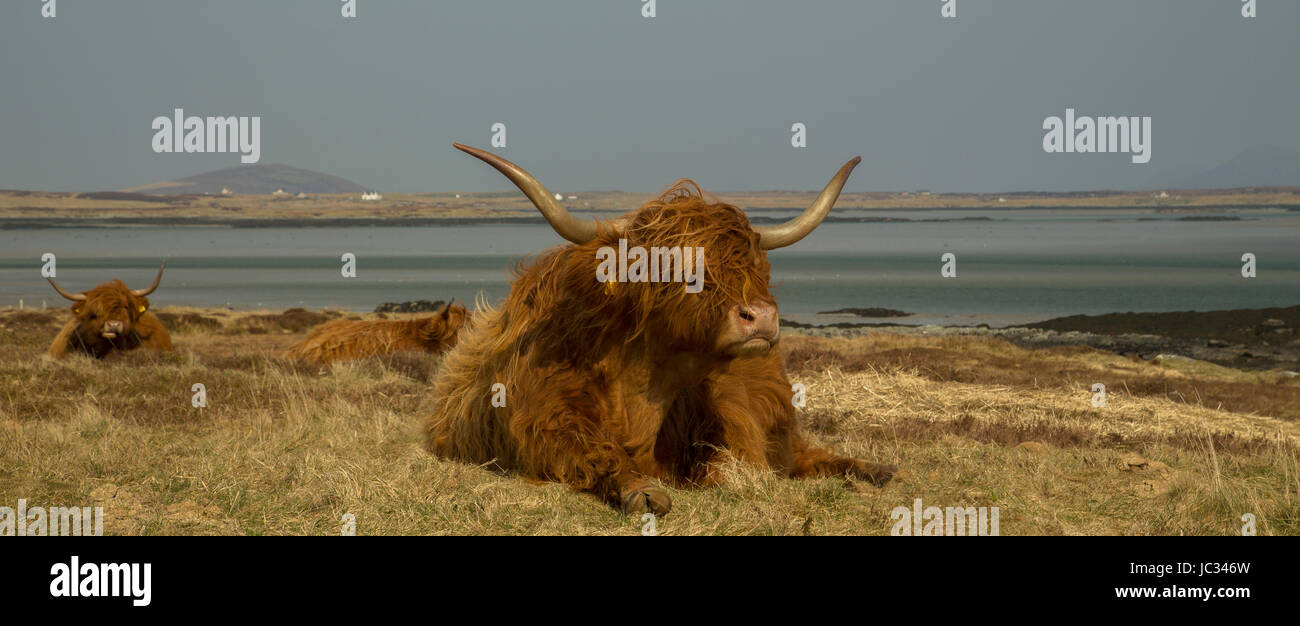 Highland Cow - Isle of South Uist, Outer Hebrides - Stock Image