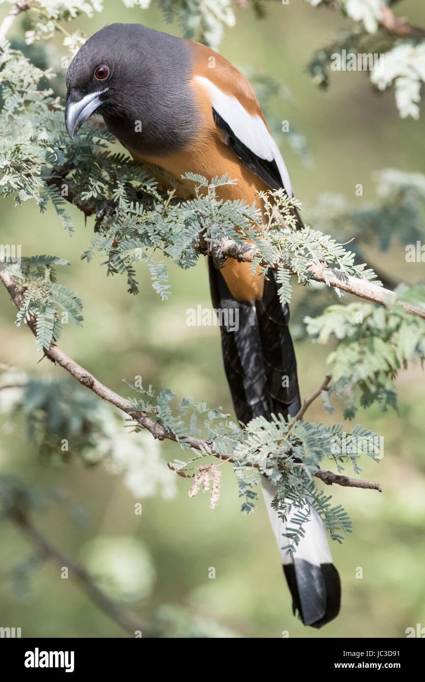 Rufous Treepie (Dendrocitta vagabunda) adult, perched in tree, Ranthambore national park., Rajasthan, India. - Stock Image