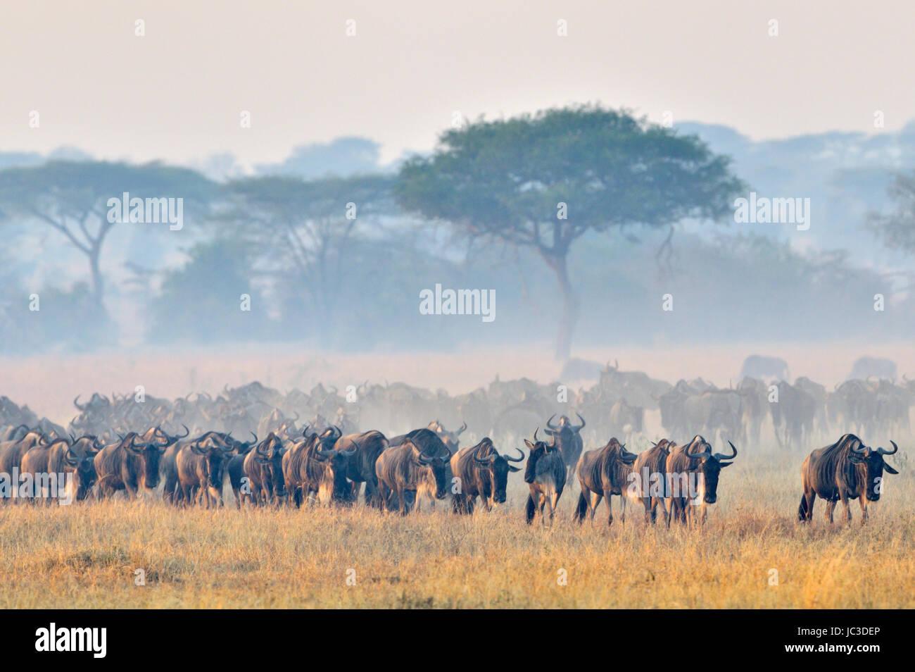 Wildebeest (Connochaetus taurinus), gnu, walking at sunrise during the great migration, Serengeti national park, - Stock Image