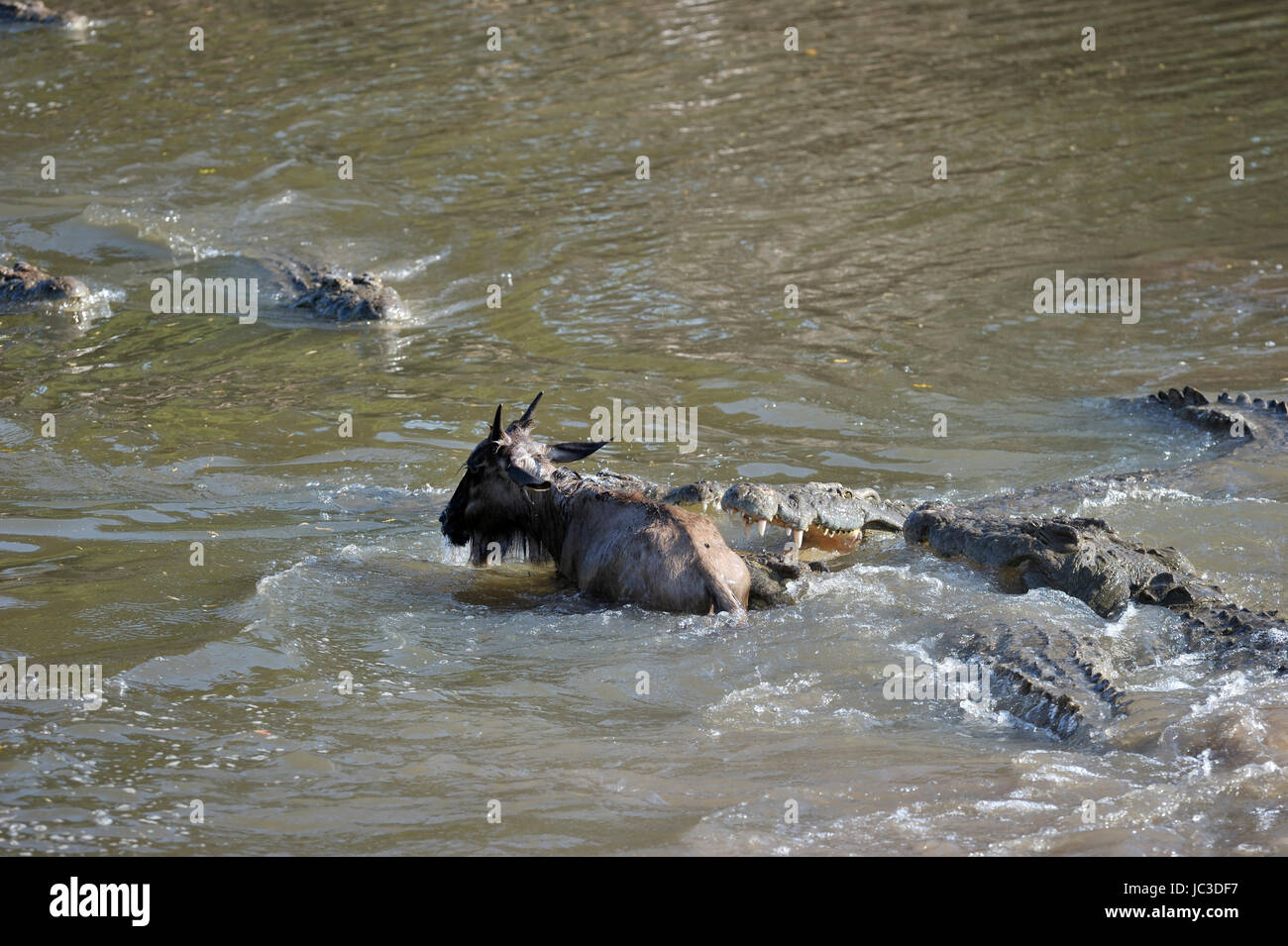 Nile Crocodile (Crocodylus niloticus) catching young Wildebeest (Connochaetes taurinus), Grumeti river, Serengeti - Stock Image