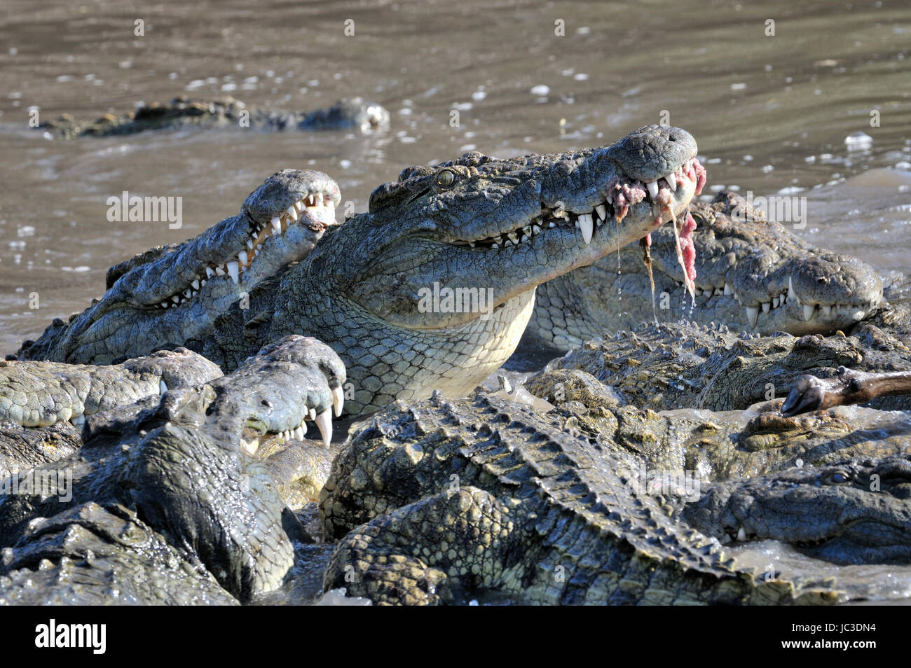Nile Crocodiles (Crocodylus niloticus) eating, Grumeti river, Serengeti National Park, Tanzania. - Stock Image
