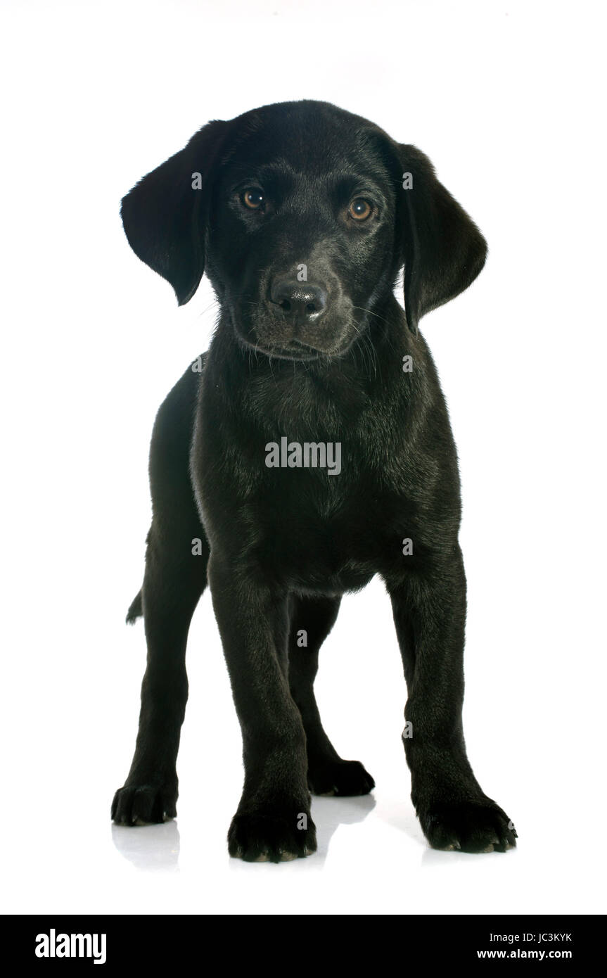 Puppy Purebred Labrador Retriever In Front Of White Background Stock
