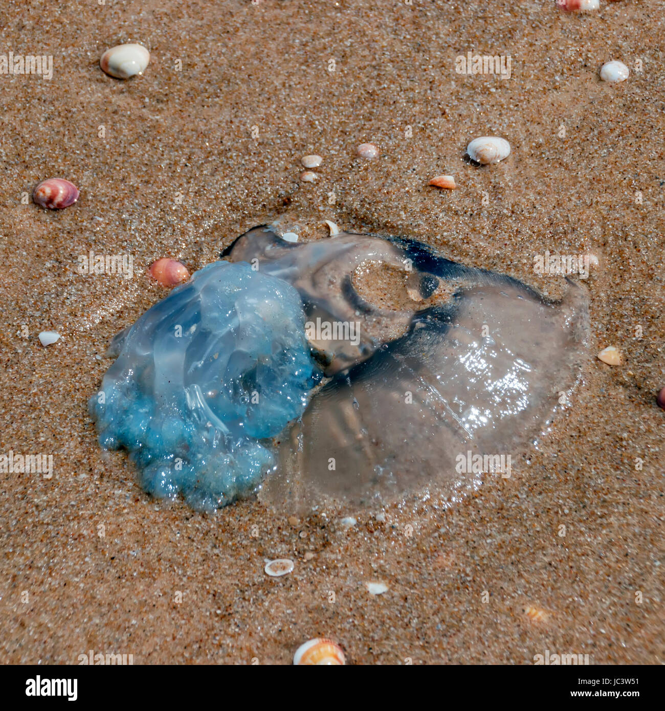 Jellyfish stranded ashore washed in mediterranean sea - Stock Image