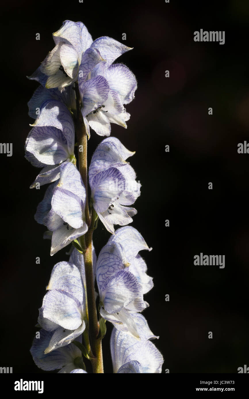 Early summer blue veined white flowers of the monkshood, Aconitum 'Stainless Steel', set against a dark - Stock Image