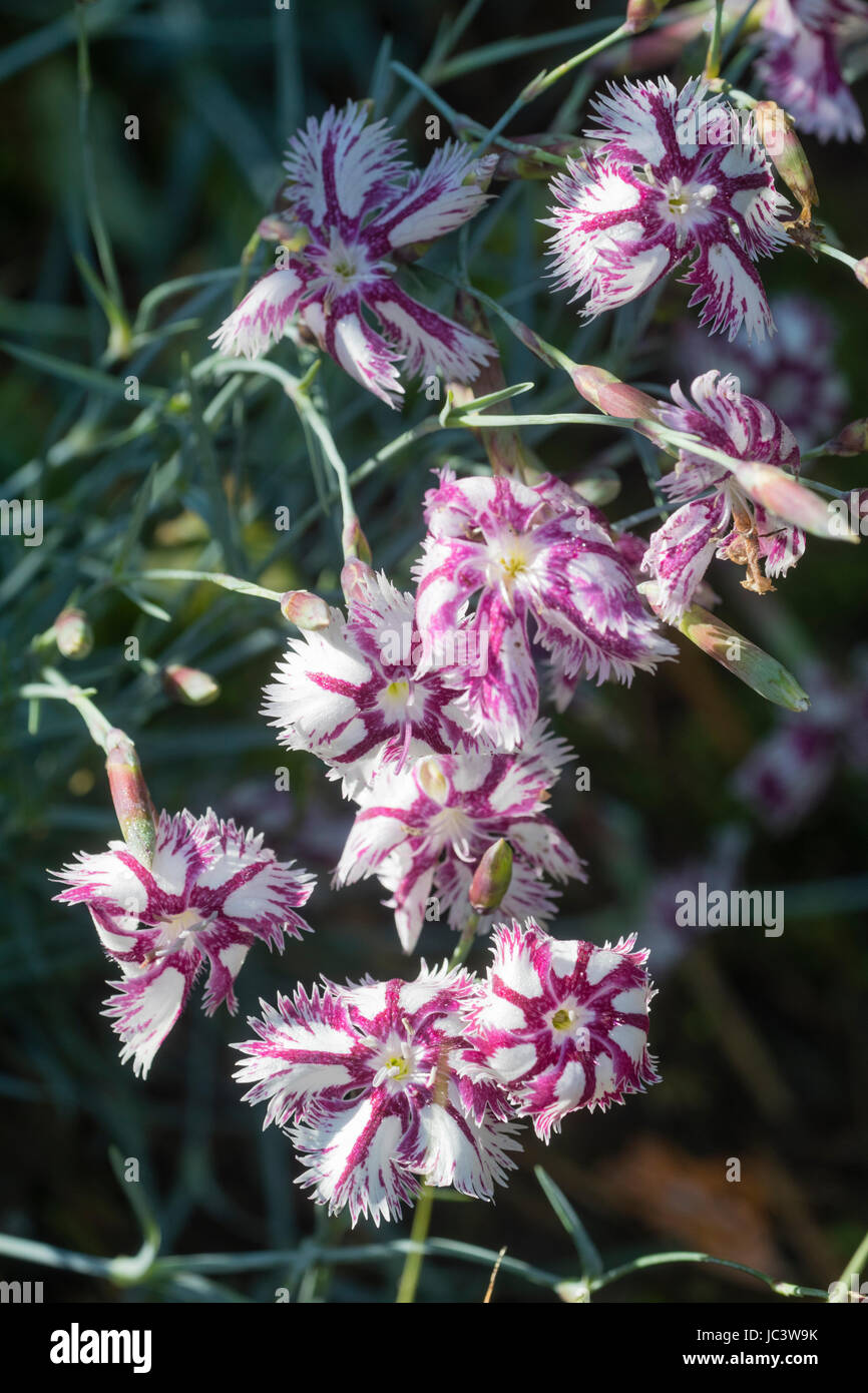 Pink streaked white fragrant flowers of the garden pink, Dianthus 'Tatra Fragrance' - Stock Image