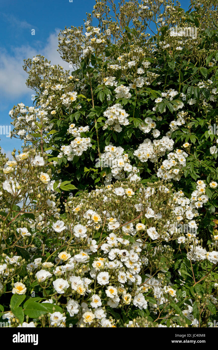 Rambling Rector rose climbing over a roise arch and in full bloom on a bright summer day, Berkshire, June - Stock Image