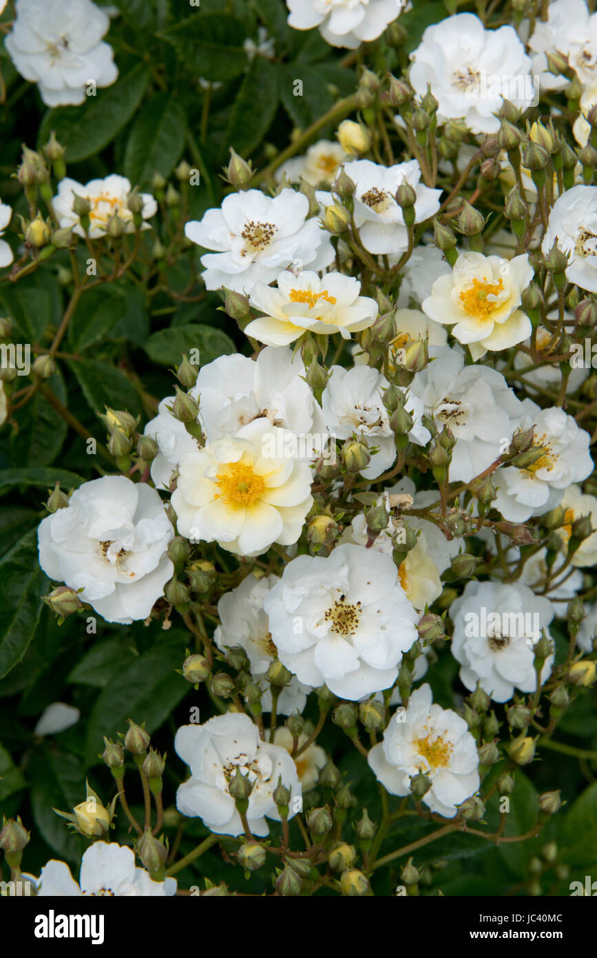 Profuse flowers on a scrambling Rambling Rector climbing rose, Berkshire, June - Stock Image