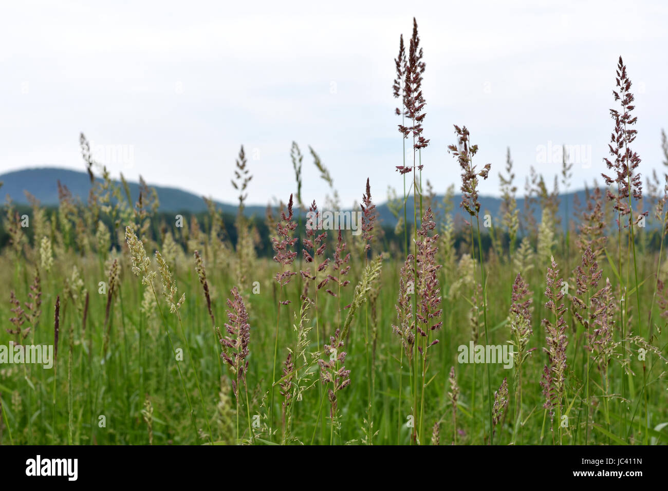 A scenic view across tall grass meadow to the Seven SIster's Ridgeline of the Holyoke Range. - Stock Image
