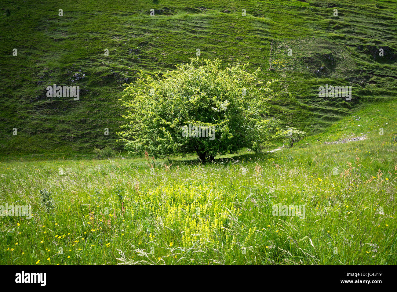 Hawthorn tree in Tansley Dale near Litton, Derbyshire, England. - Stock Image