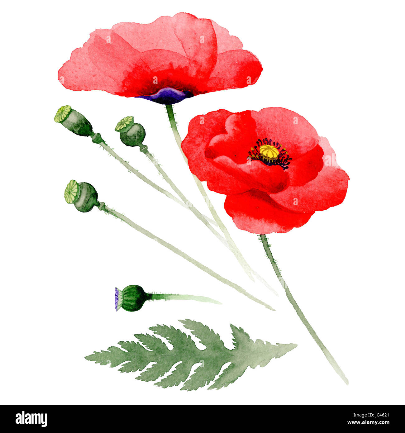 Wildflower Poppy Flower In A Watercolor Style Isolated Full Name Of