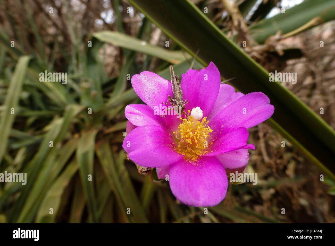 Pink flower with a grasshopper, Chapada Diamantina, Brazil - Stock Image