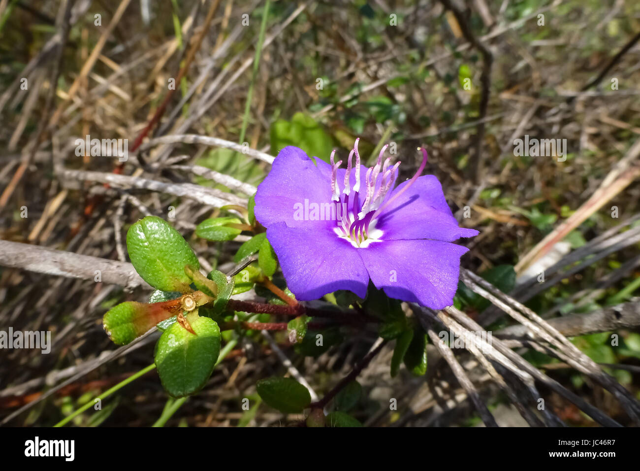 Violet flower with stamen upright, endemic in the Chapada Diamantina, Brazil - Stock Image
