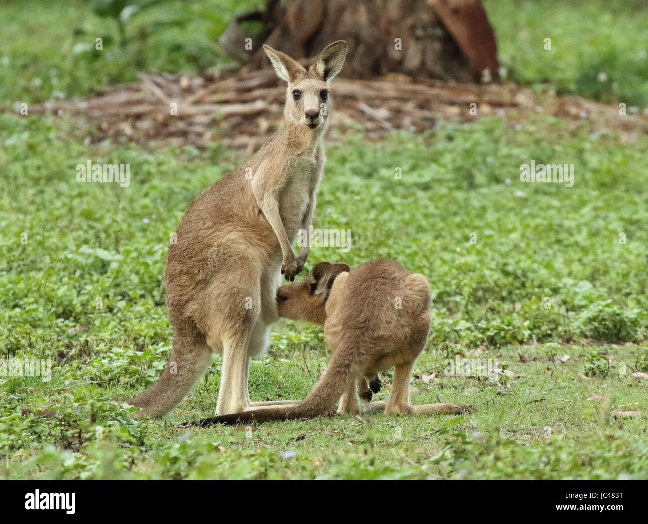 A baby Kangaroo investigating her mother's pouch. - Stock Image