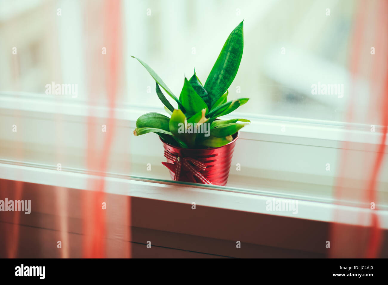 Green Plant In A Red Pot Between Window Frames Sheer Curtains The Frame