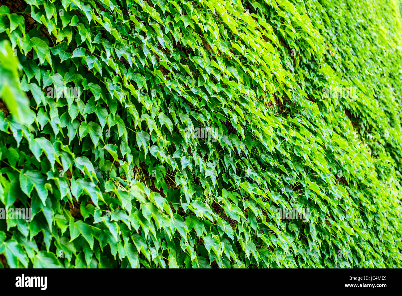 climbing ivy on building wall - sustainable building intertwined with green - Stock Image