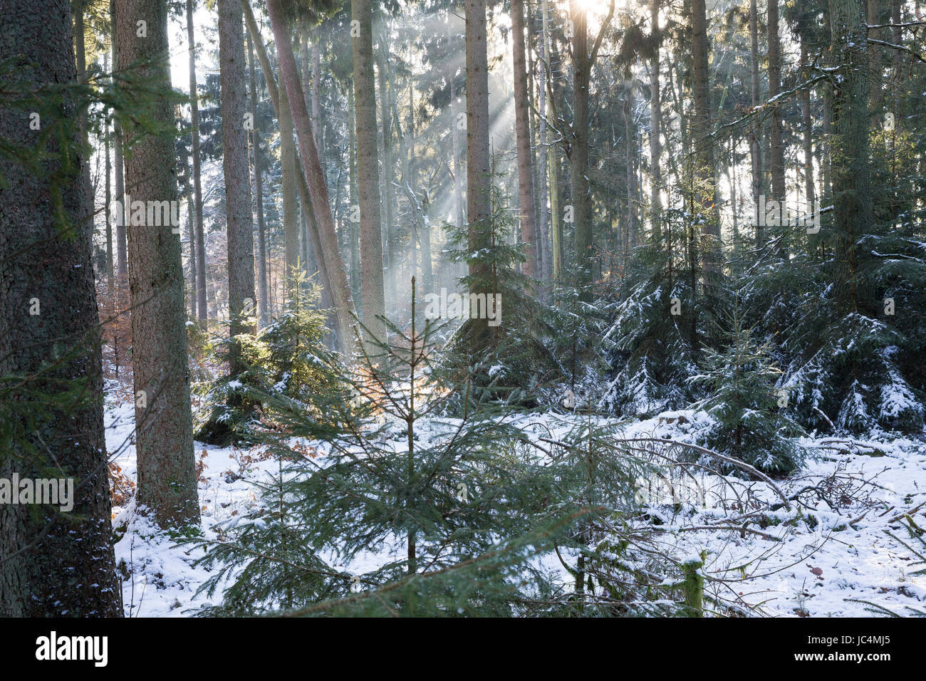 Winterwald, Fichtenwald, Nadelwald, Mischwald im Winter, Gewöhnliche Fichte, Rot-Fichte, Rotfichte, Picea abies, - Stock Image