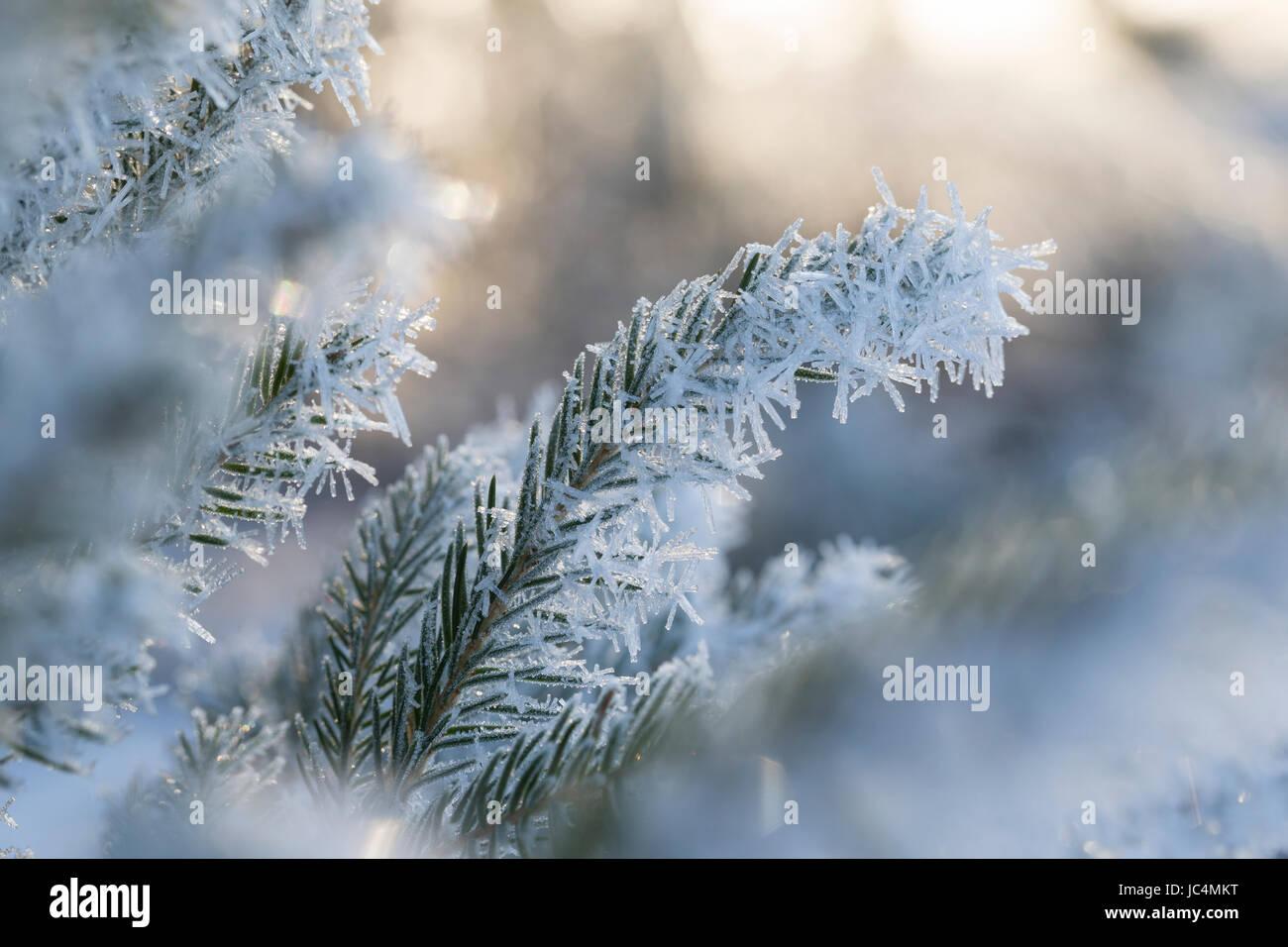 Fichte, Fichtenzweig im Winter mit Reif, Raureif, Gewöhnliche Fichte, Rot-Fichte, Rotfichte, Picea abies, Common - Stock Image