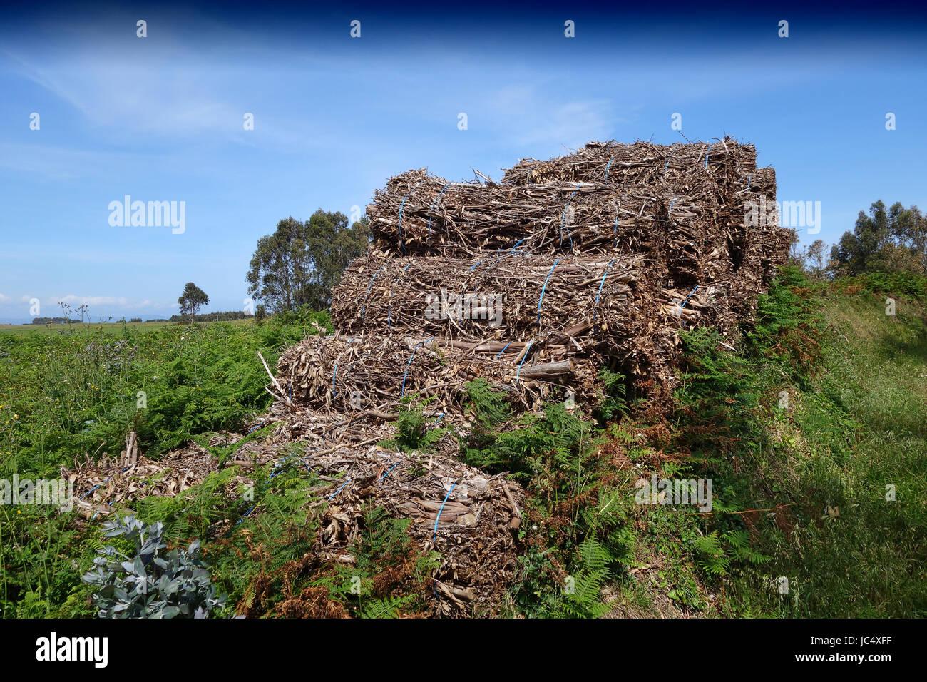 Harvesting eucalyptus trees at Ribadeo in Asturias northern Spain - Stock Image