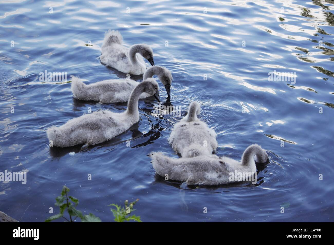 Baby Swans in Queens park lake - Heywood - Manchester Stock Photo