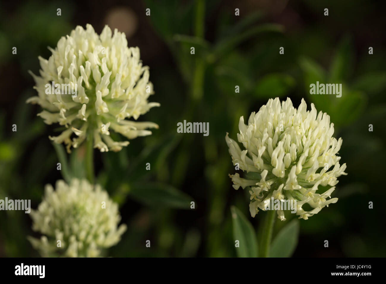 Flowering Trifolium ochroleucon, a type of giant clover. Flowers in early summer and is loved by pollinators. - Stock Image