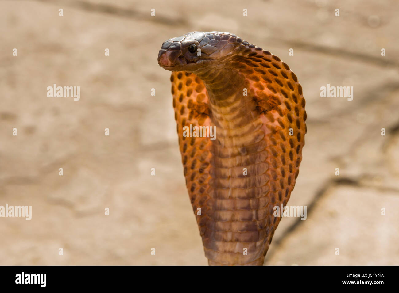 Portrait of a cobra dancing at the holy river Ganges at Dashashwamedh Ghat, Main Ghat, in the suburb Godowlia Stock Photo