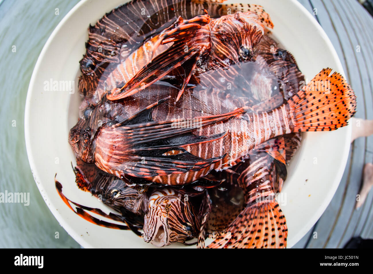 Lionfish are an introduced species in the Caribbean Sea. They have no natural predators and are outcompeting native - Stock Image