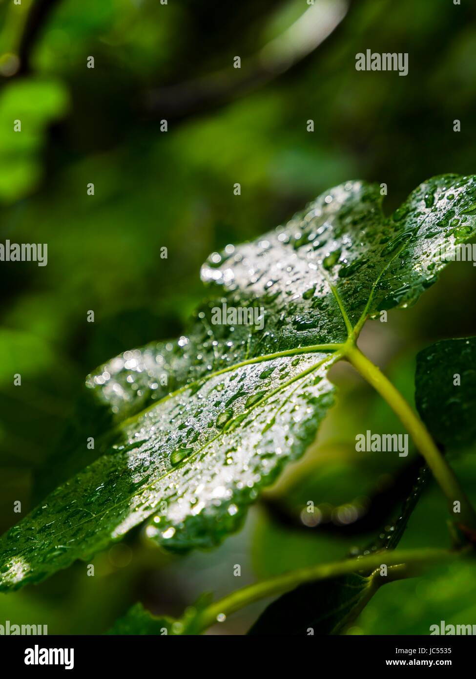 Fig tree leaf drops droplets shining shine on surface after rain - Stock Image