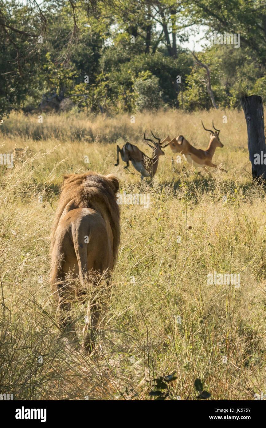 Male lion hunting impala - Stock Image