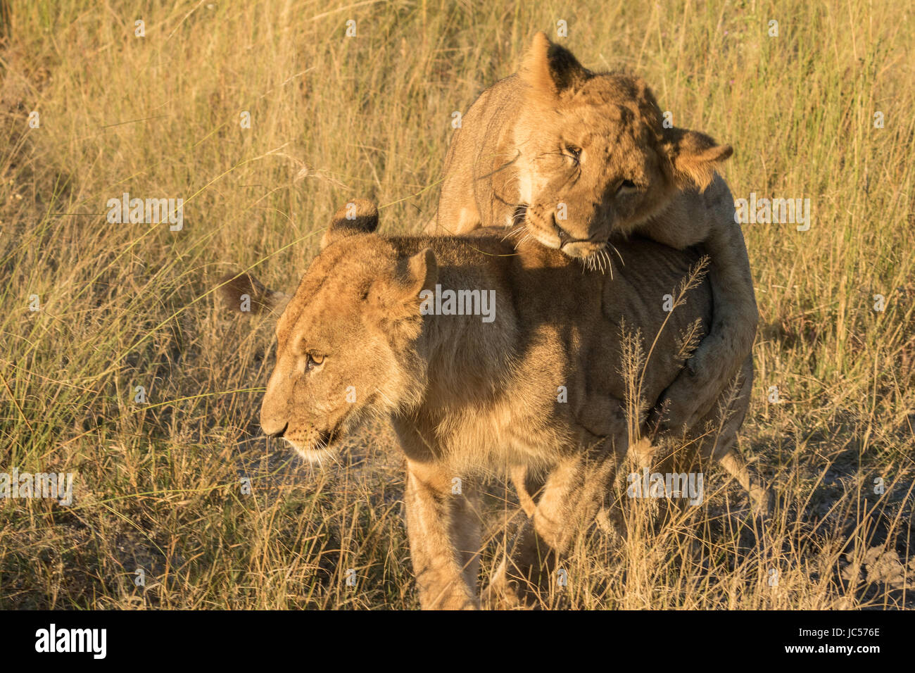 Playful young lions - Stock Image