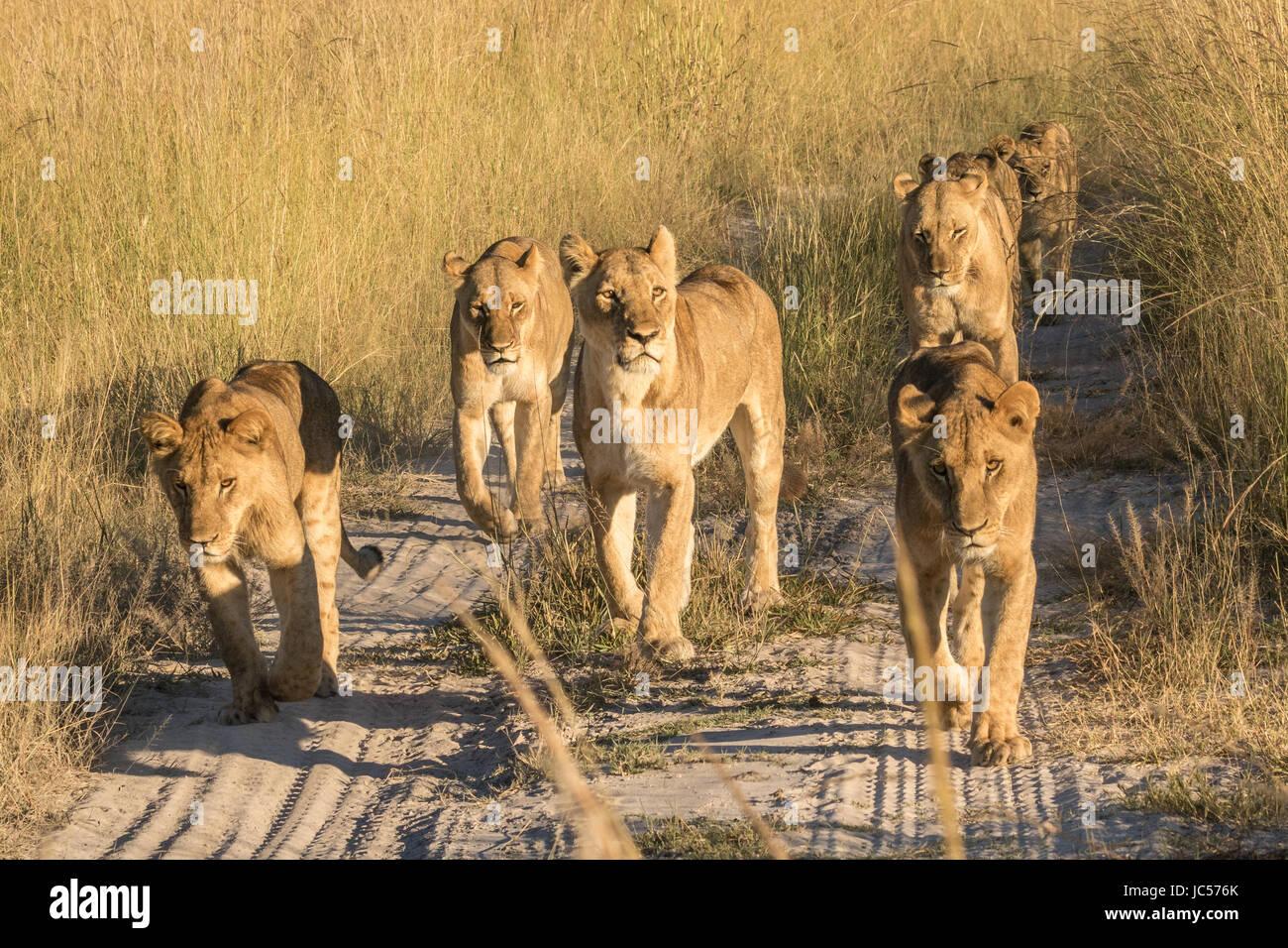 Lion pride walking - Stock Image