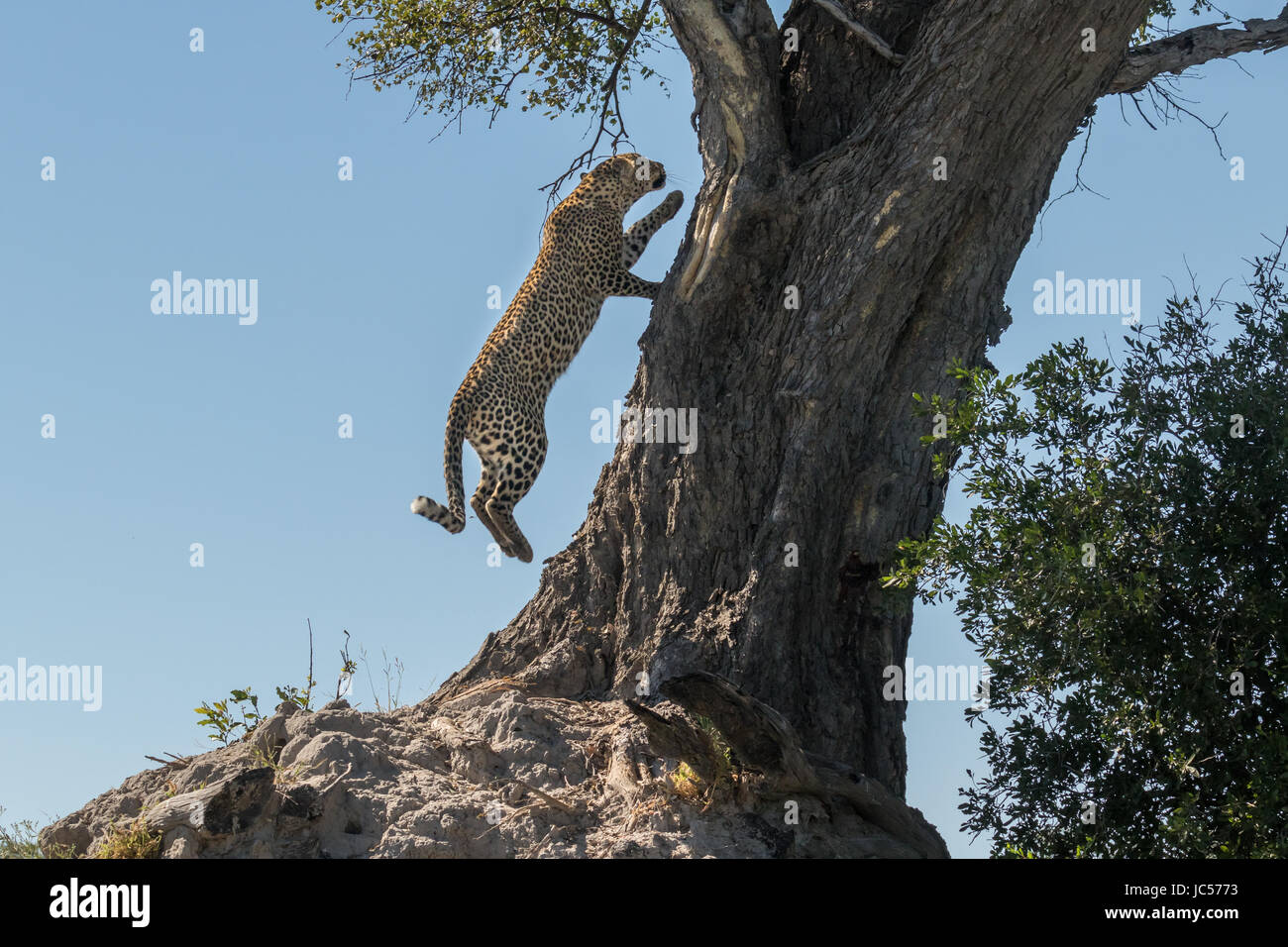 Leopard leaping into tree - Stock Image