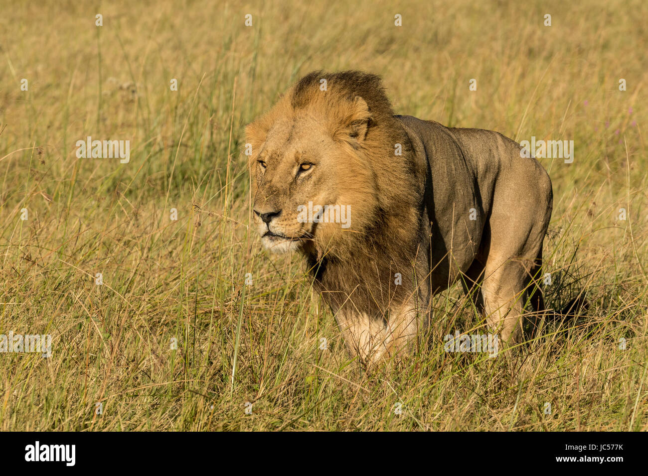 Male lion in the grass - Stock Image